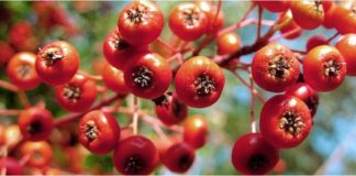 'Christmas Berry' Plant