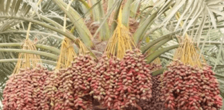 Dabino, The Rich Dessert Palm