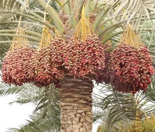 Dabino, The Rich Dessert Palm