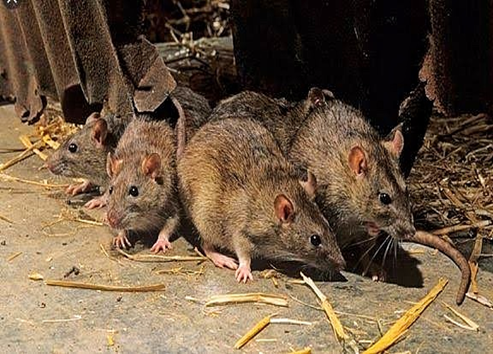 Mastomy's rats