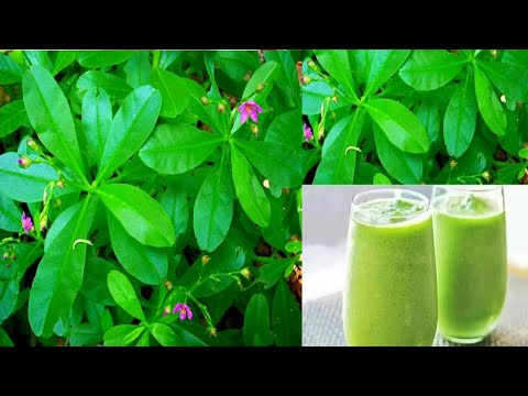 Health Benefits of Waterleaf (Talinum triangulare) that will make you eat it everyday